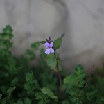 おおあらせいとう大紫羅欄花)Orychophragmus violaceus_5