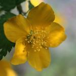 やまぶき(山吹)Kerria japonica_0_2