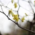 とさみずき(土佐水木)Corylopsis spicata_0_3