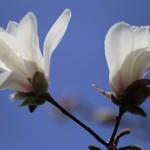 こぶし((辛夷 )Magnolia kobus_18