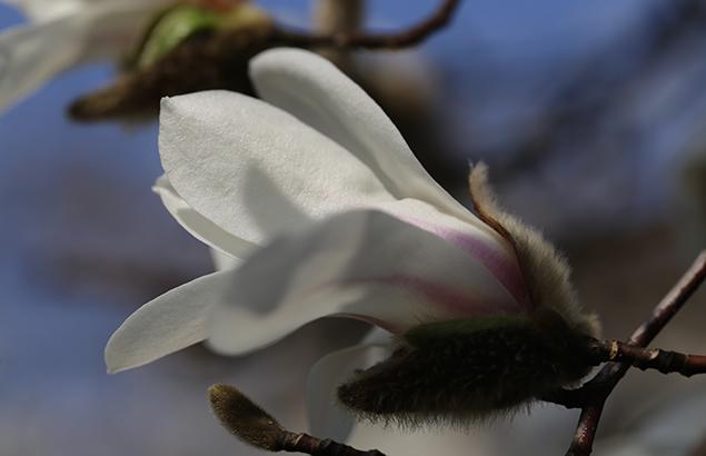 こぶし((辛夷 )Magnolia kobus_10