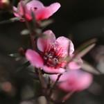ぎょりゅうばい(檉柳梅)Leptospermum scoparium_2