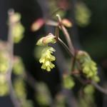 とさみずき(土佐水木)Corylopsis spicata_0_5