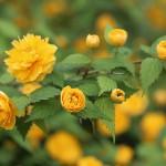 やえやまぶき(八重山吹)Kerria japonica cv. Plena_0