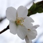おおしまざくら(大島桜)Cerasus speciosa_0 (4)