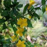 ぶき(山吹)Kerria japonica_0_3