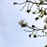 こぶし((辛夷 )Magnolia kobus_21