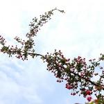 はなかいどう(花海棠)Malus halliana_8