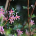 うぐいすかぐら〈ピンク〉(鶯神楽)Lonicera gracilipes_1