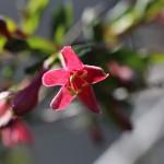 うぐいすかぐら〈ピンク〉(鶯神楽)Lonicera gracilipes_12
