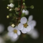 ゆきやなぎ 雪柳)Spiraea thunbergii_1