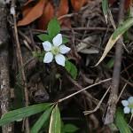 きいちご(木苺)Rubus palmatusvar. coptophyllus_1