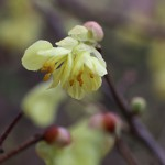 ひゅうがみずき(日向水木)Corylopsis pauciflora_5
