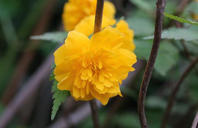 やえやまぶき(八重山吹)Kerria japonica cv. Plena_0 (4)