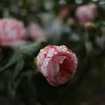 しぼりおとめ(絞り乙女)Camellia japonica cv.'Sibori-Otome'_0 (3)