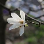 こぶし((辛夷 )Magnolia kobus_3
