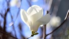 はくもくれん((白木蓮)Magnolia heptapera_7