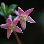 うぐいすかぐら〈ピンク〉(鶯神楽)Lonicera gracilipes_2