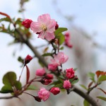 はなかいどう(花海棠)Malus halliana_3