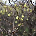 ひゅうがみずき(日向水木)Corylopsis pauciflora_4