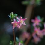 うぐいすかぐら〈ピンク〉(鶯神楽)Lonicera gracilipes_7