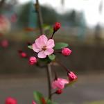 はなかいどう(花海棠)Malus halliana_7