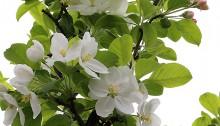 ひめりんご(姫林檎)Malus × cerasifera_1 (1)