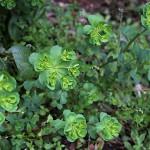 とうだいぐさ(燈台)Euphorbia helioscopia