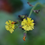 おにたびらこ(鬼田平子)Youngia japonica_1 (1)