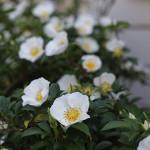 なにわいばら((浪速茨)Rosa laevigata_1 (7)