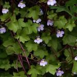 つたばうんらん蔦葉海欄)Cymbalaria muralis_1 (2)