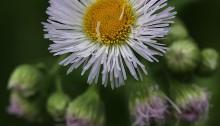 はるじおん(春紫苑)Erigeron philadelphicus_1 (2)
