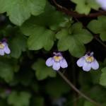つたばうんらん蔦葉海欄)Cymbalaria muralis_1