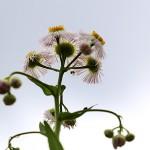 802.はるじおん(春紫苑)Erigeron philadelphicus_1 (8)