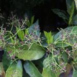 782.あおき(青木)Aucuba japonica_0 (5)