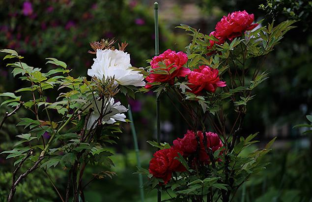 ぼたん(牡丹)Paeonia suffruticosa_1 (8)