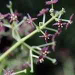 782.あおき(青木)Aucuba japonica_0 (1)