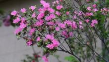 つつじ(躑躅)Rhododendron_1 (10)