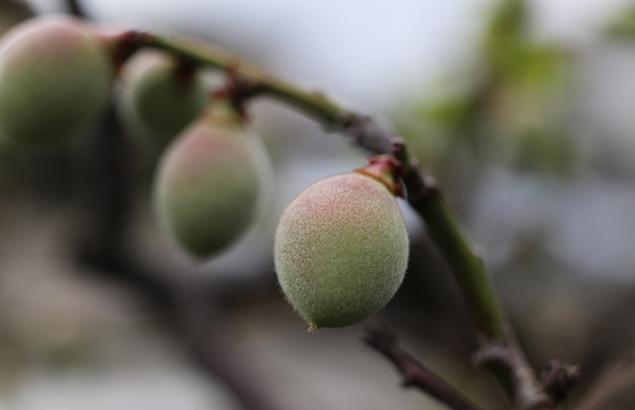 うめ(梅)Prunus mume_0 (3)