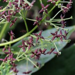 782.あおき(青木)Aucuba japonica_0 (2)