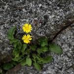 おにたびらこ(鬼田平子)Youngia japonica_1 (8)