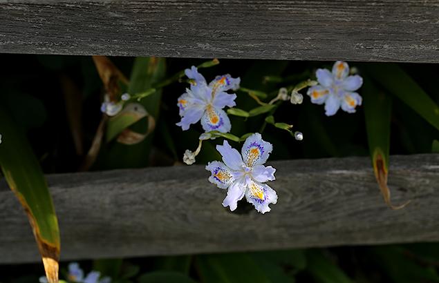 しゃが<(射干)Iris japonica_1 (1)