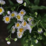 802.はるじおん(春紫苑)Erigeron philadelphicus_1 (7)