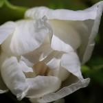 ぼたん(牡丹)Paeonia suffruticosa_1 (1)