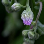 はるじおん(春紫苑)Erigeron philadelphicus_1 (3)