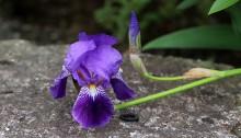 ジャーマンアイリス Iris germanica
