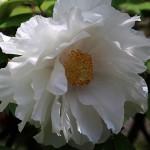 ぼたん(牡丹)Paeonia suffruticosa_1