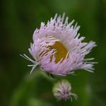 はるじおん(春紫苑)Erigeron philadelphicus_1 (5)