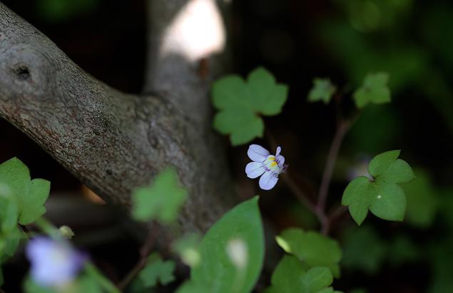 つたばうんらん蔦葉海欄)Cymbalaria muralis_1 (4)