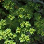 とうだいぐさ(燈台)Euphorbia helioscopia (4)
